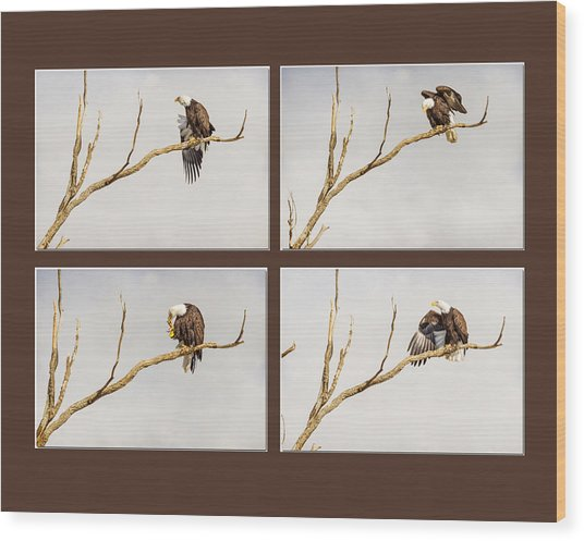 American Bald Eagle Progression Wood Print by James BO  Insogna