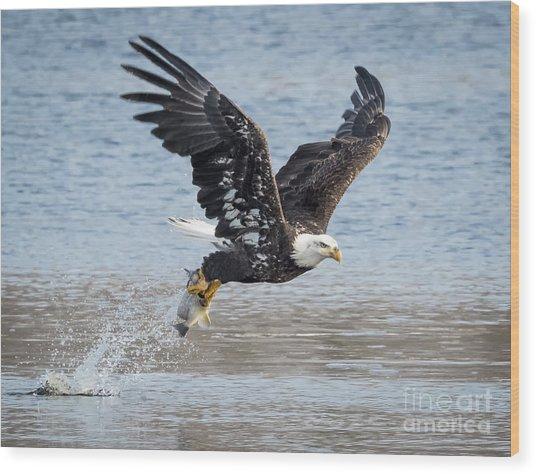 American Bald Eagle Taking Off Wood Print