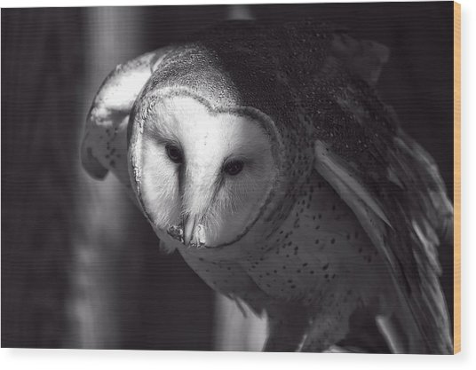 American Barn Owl Monochrome Wood Print