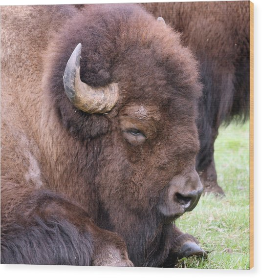 American Bison - Buffalo - 0012 Wood Print