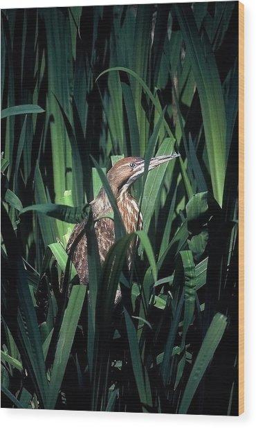 American Bittern Wood Print by Robert Ashbaugh