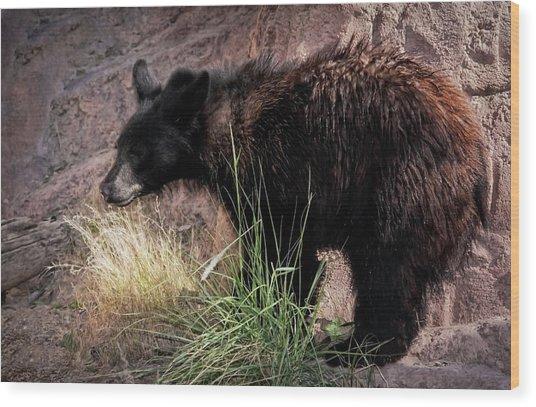 American Black Bear Cub Wood Print