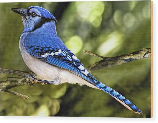 Blue Jay Bokeh Wood Print