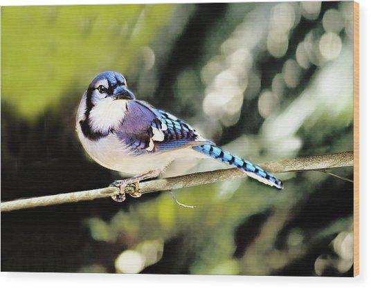 American Blue Jay On Alert Wood Print