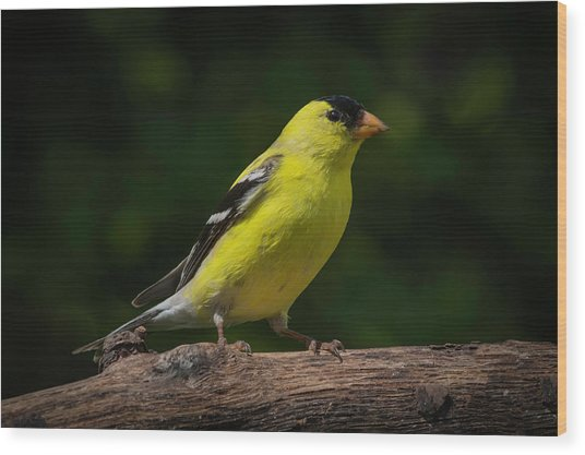 American Goldfinch Male Wood Print