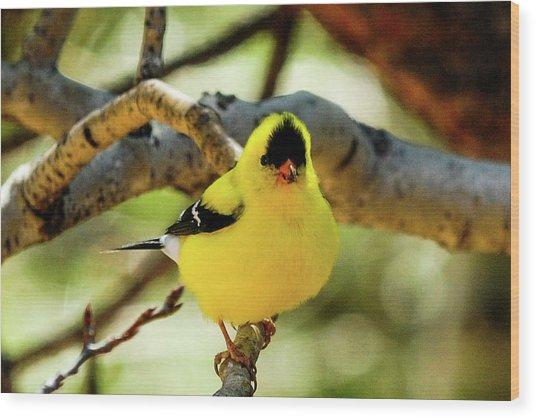 American Goldfinch On Aspen Wood Print