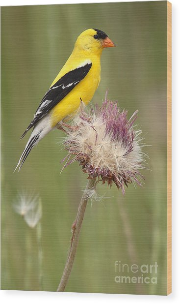 American Goldfinch On Summer Thistle Wood Print
