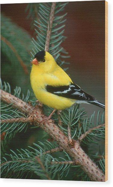 American Goldfinch Wood Print by Raju Alagawadi