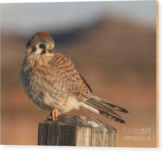 American Kestrel Giving Hunting Stare Wood Print by Max Allen