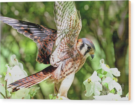 American Kestrel Hawk Wood Print
