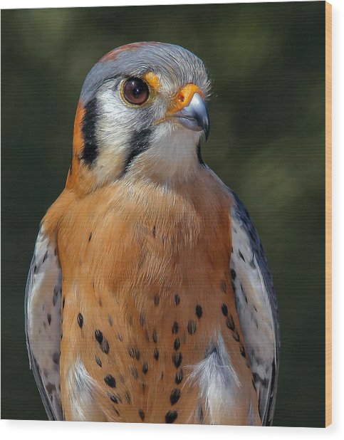 American Kestrel Portrait  Wood Print