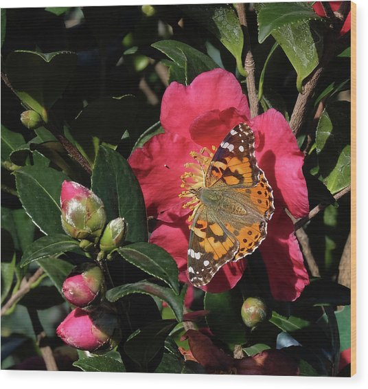 American Painted Lady On Camelia Wood Print
