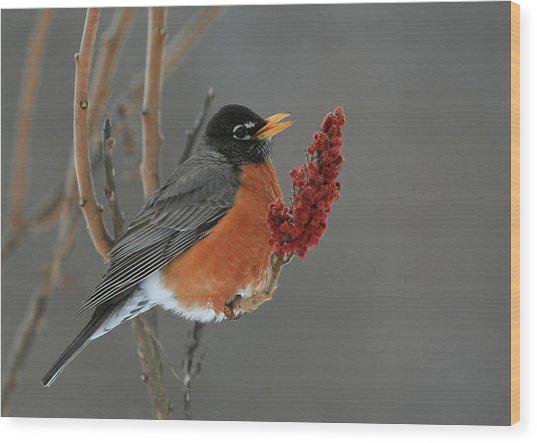 American Robin On Sumac Wood Print