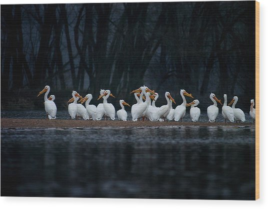 Wood Print featuring the photograph American White Pelican by Jane Melgaard