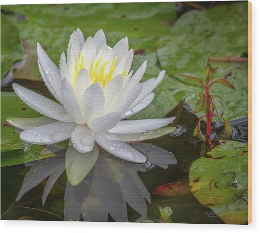 American White Water Lily Wood Print