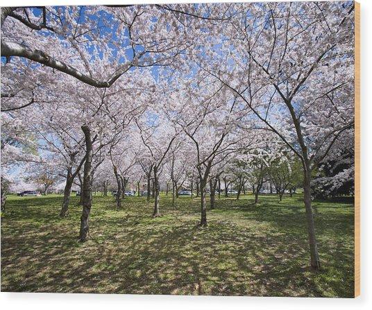 Amid Cherry Trees Washington D.c. Cherry Blossom Festival Wood Print by Brendan Reals