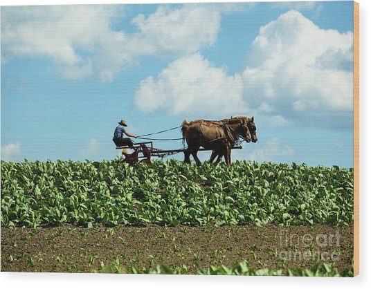 Amish Farmer With Horses In Tobacco Field Wood Print