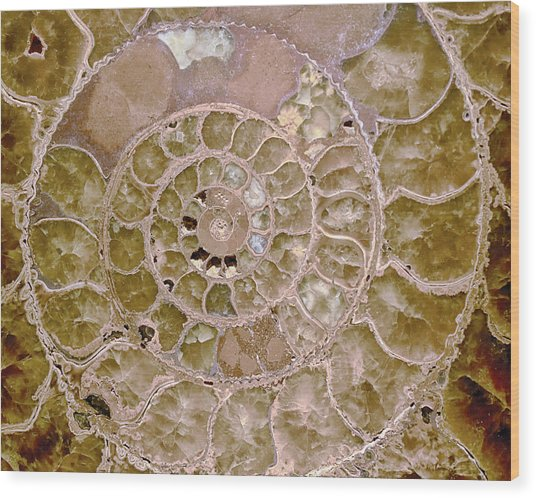 Wood Print featuring the photograph Ammonite by Gigi Ebert