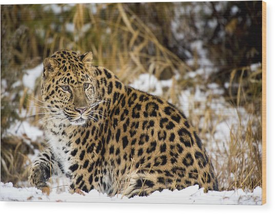 Wood Print featuring the photograph Amur Leopard In A Snowy Forrest by Gavin Baker