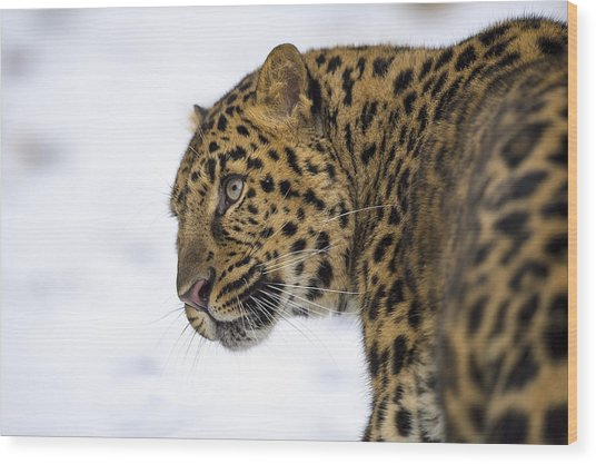 Amur Leopard In The Snow Wood Print