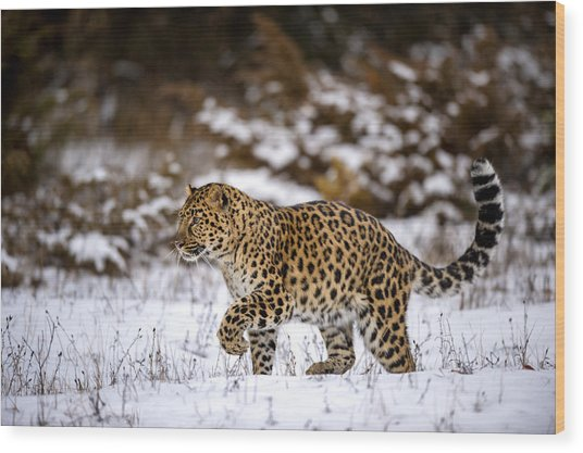 Amur Leopard Walks In A Snowy Forest Wood Print