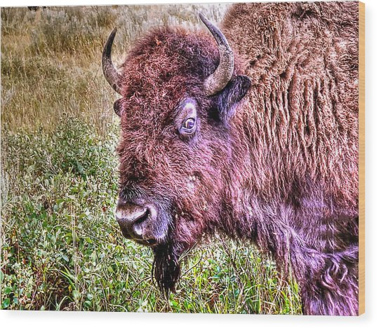 An Astonished Bison Wood Print
