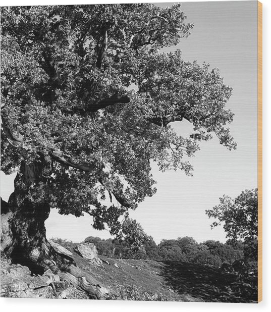 Ancient Oak, Bradgate Park Wood Print