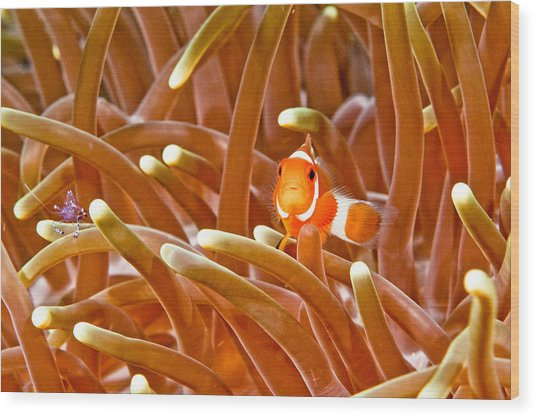 Anemone Fish And Cleaner Shrimp Wood Print