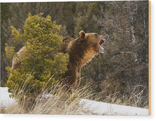 Angry Grizzly Behind Tree Wood Print