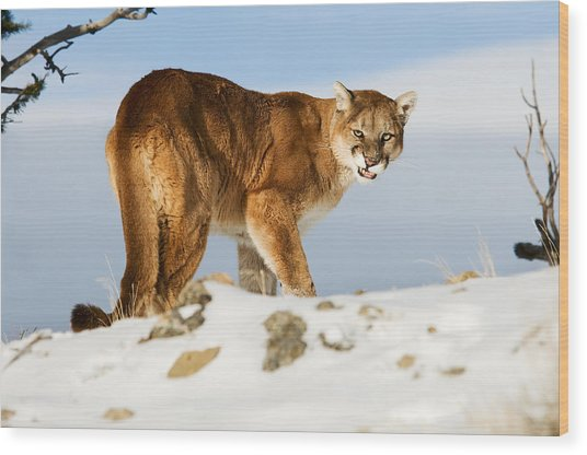 Angry Mountain Lion Wood Print