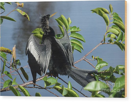 Anhinga Beauty Shot Wood Print