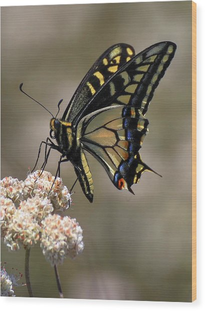 Anise Swallowtail Wood Print