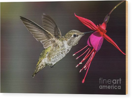 Anna Immature Hummingbird Wood Print