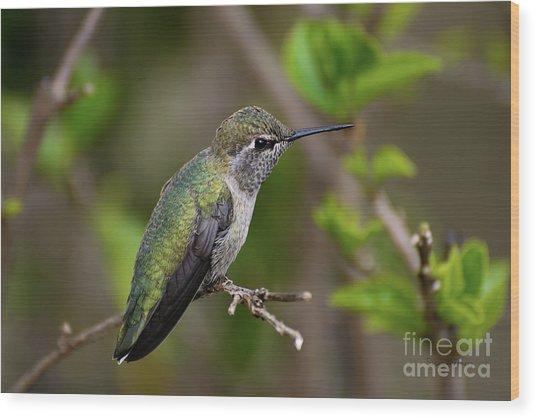 Anna's Hummingbird On Lime Tree Wood Print