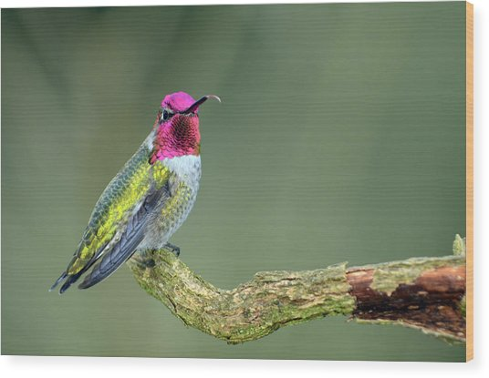 Anna's Hummingbird Sticking His Tounge Out Wood Print