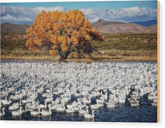 Annual Snow Geese Meet-up, Bosque Del Apache, New Mexico Wood Print