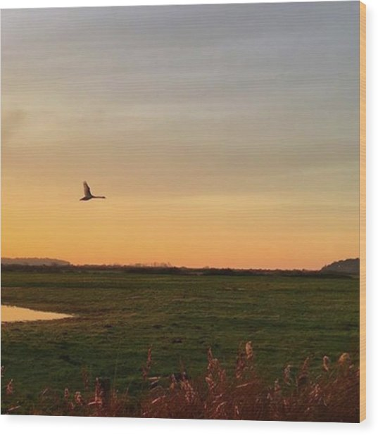 Another Iphone Shot Of The Swan Flying Wood Print
