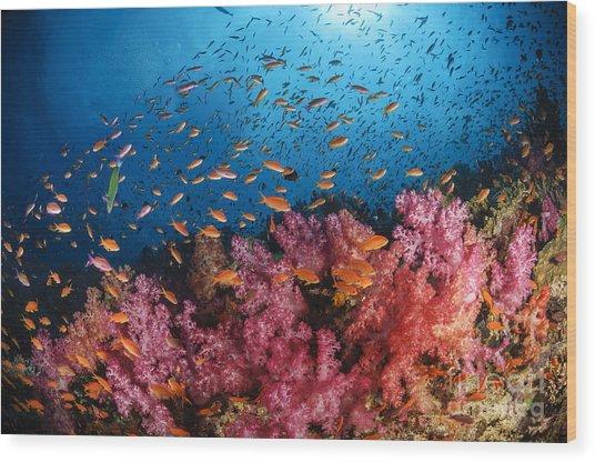 Anthias Fish And Soft Corals, Fiji Wood Print