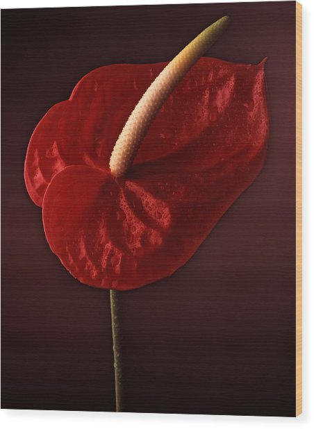 Anthurium Wood Print by Joseph Gerges