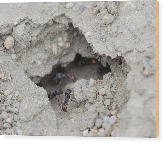 Ants Wood Print