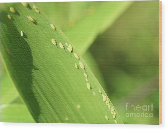 Aphid Family Wood Print