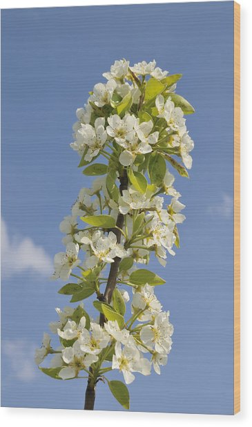 Apple Blossom In Spring Wood Print