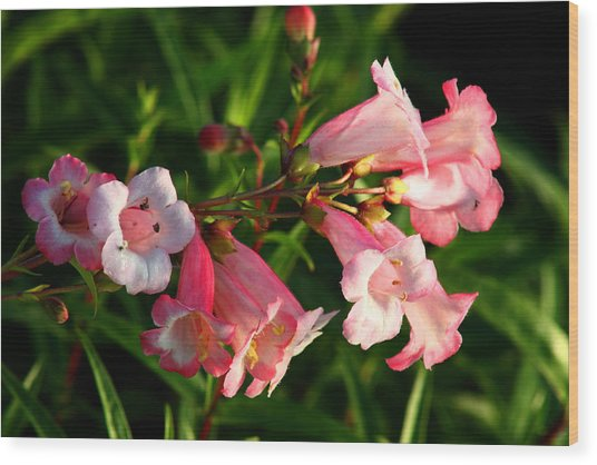Apple Blossom Penstemon Wood Print