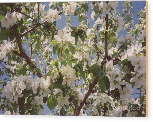 Apple Blossom Wood Print