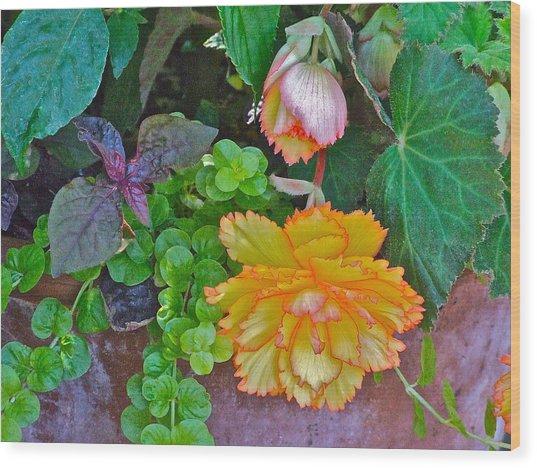 Apricot Begonia 3 Wood Print