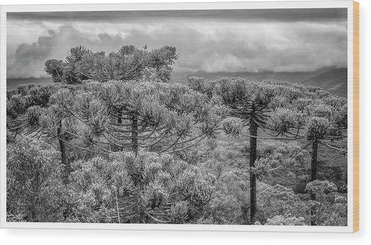 Araucaria Angustifolia-campos Do Jordao-sp Wood Print