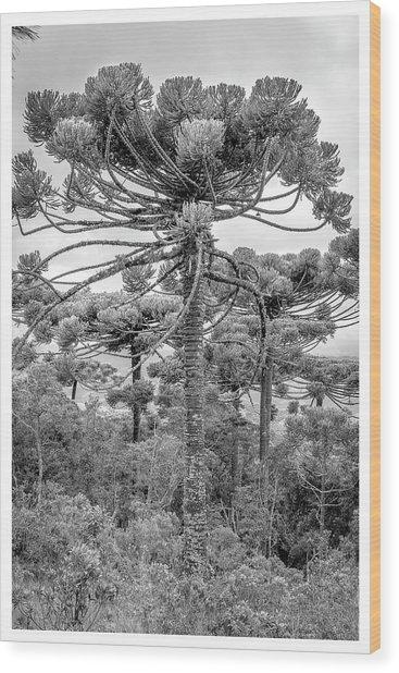 Araucaria Angustifolia-curi-campos Do Jordao-sp Wood Print