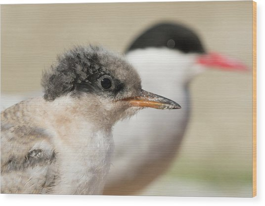Wood Print featuring the photograph Arctic Tern Chick With Parent - Scotland by Karen Van Der Zijden