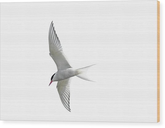 Arctic Tern Flying In Mist Wood Print