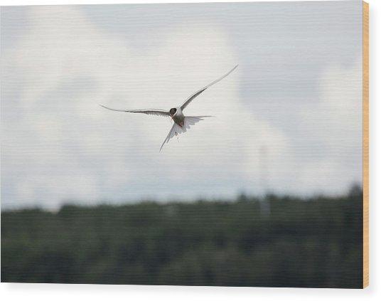 Arctic Tern In Flight Wood Print